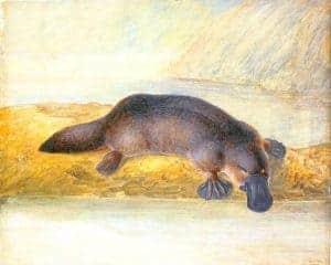 Colonial Art – Platypus